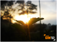 gim57-at-duranta-repens.png