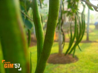 gim57-papilionaceae-e.png